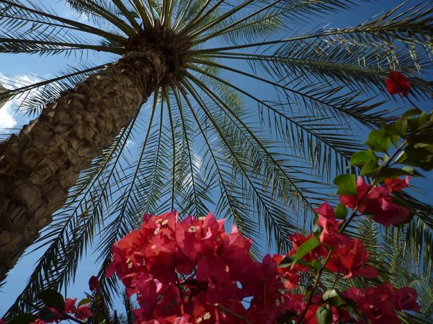 ナツメヤシの木と花 Date palm & flowers,Oman