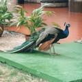 ハバナのホテル庭のインド孔雀 Indian peacock at hotel