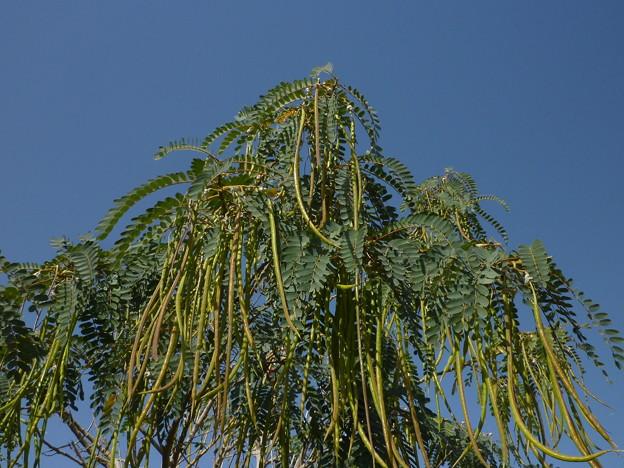 中東の長い莢 Green tree in the sidewalk ,Fujairah