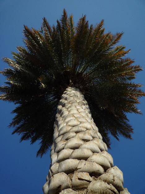 マスカット空港のナツメヤシ Date palm at Muscat Airport