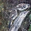 ガラパゴスマネシツグミ Galápagos mockingbird