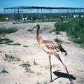 若い丹頂鶴 Red-crowned cranes at the Zhalong Wetland
