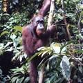 オランウータンの森 Orang utan ,Malaysia