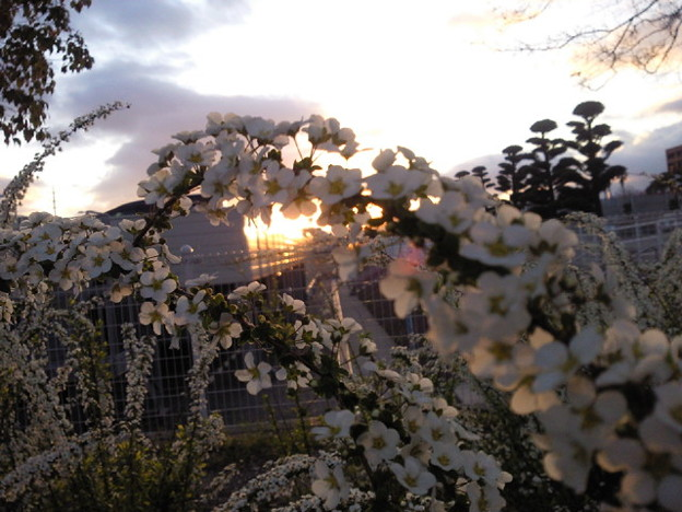 夕日と雪柳。 #mysky