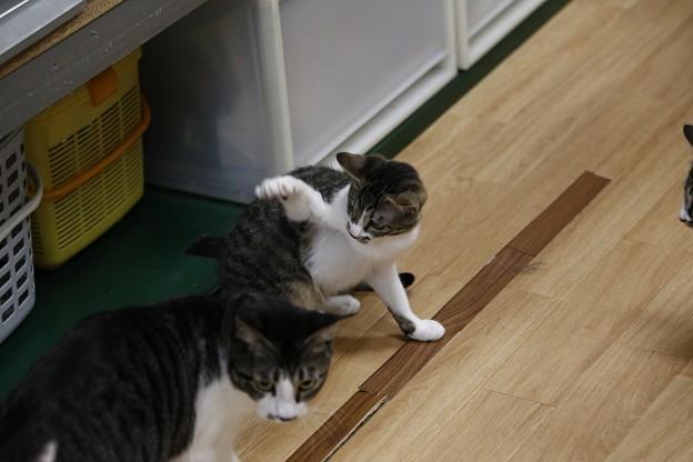 Photos: きく「邪魔しないでにゃ!!」 ココア「うわっ!このチビうるせー」