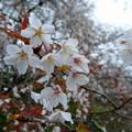 2015/04/11・・・狩宿の下馬桜?05