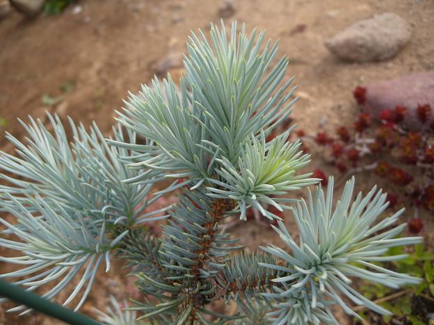 写真: Picea pungens 'Edith'