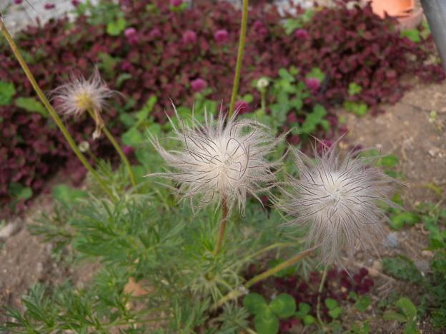 写真: 翁草のタネ