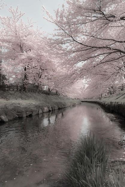元荒川の桜?@鴻巣