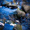 Photos: 元荒川の桜?@鴻巣