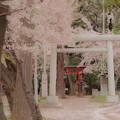 桜と鳥居@近所の神社