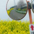 カーブミラーと菜の花と桜@桶川