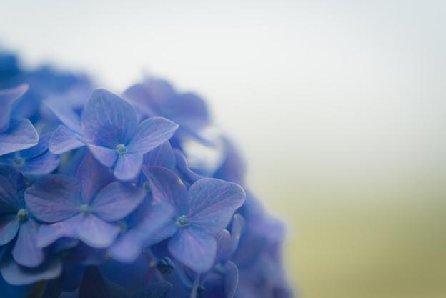 紫陽花?@八丁湖