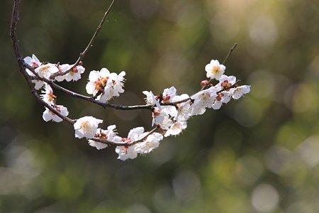 2012.03.21 和泉川 ウメ 弓形