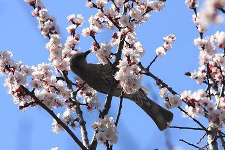 2012.04.04 和泉川 ヒヨドリ