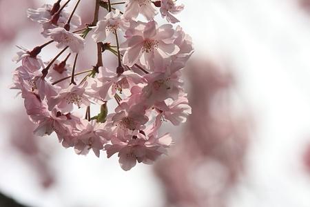 2012.04.16 和泉川 ヤエベニシダレ 鞠