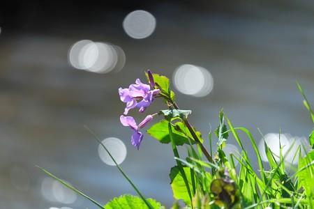 2015.03.11 和泉川 ハナダイコン 春風