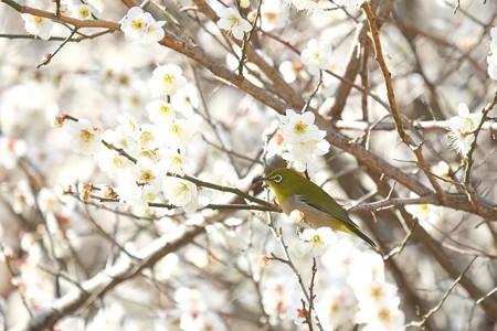 2015.03.12 追分市民の森 メジロ 春
