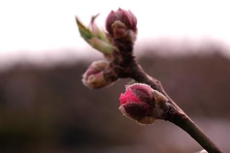 2015.03.14 追分市民の森 花桃