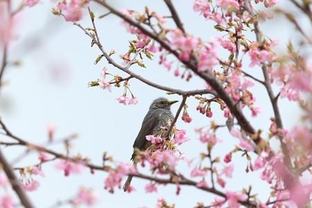 2015.03.15 和泉川 河津桜にヒヨドリ