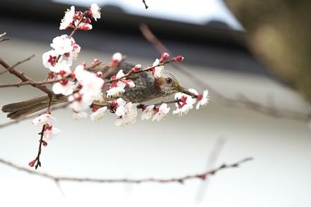 2015.03.21 和泉川 梅にヒヨドリ