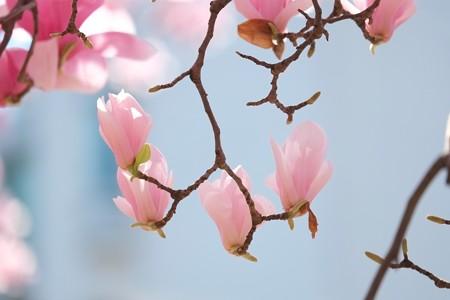 2015.03.25 みなとみらい モクレン