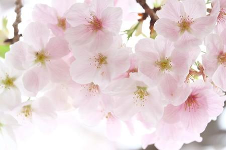 2015.04.04 和泉川 桜にユスリカ?
