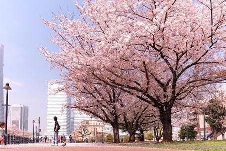 2015.04.06 みなとみらい 桜