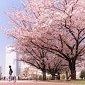 Photos: 2015.04.06 みなとみらい 桜