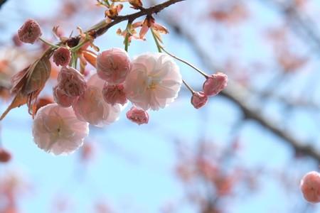 2015.04.15 和泉川 ヤエザクラ