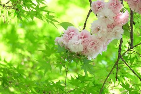 2015.04.26 和泉川 八重桜と紅葉