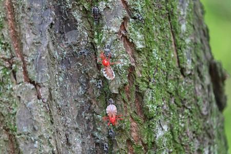 2015.04.27 追分市民の森 梅の木でヨコヅナサシガメ 羽化