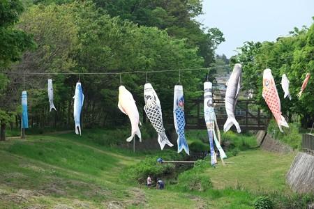 2015.04.29 和泉川 鯉幟