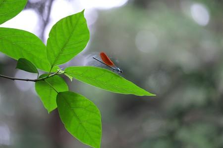 2015.05.04 瀬谷市民の森 ニホンカワトンボ