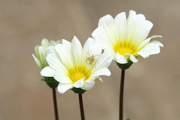 2015.05.25 和泉川 白い花にササグモ
