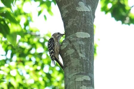 2015.05.27 和泉川 コゲラ 虫を木に押付け