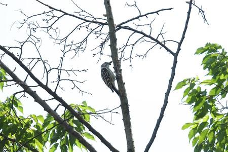 2015.05.27 和泉川 コゲラ 隣の木