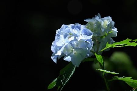 2015.05.30 瀬谷市民の森 アジサイ 蒼