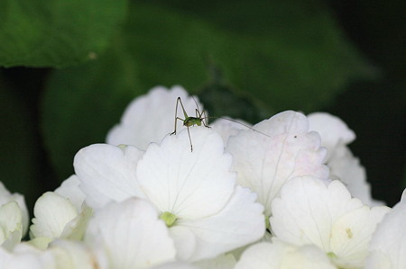 2011.06.14 和泉川 アジサイにクダマキモドキ