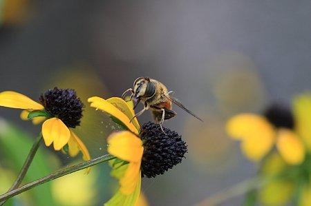 2011.09.01 和泉川 アラゲハンゴンソウにハチ