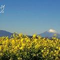写真: 菜の花畑 2012・・1