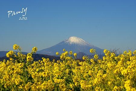 菜の花畑 2012・・2