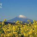 写真: 菜の花畑 2012・・2
