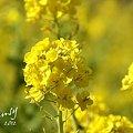 写真: 菜の花畑 2012・・3