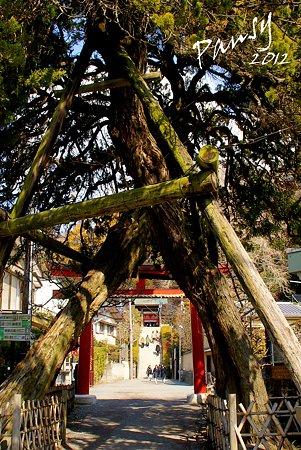 交差した柏槇(びゃくしん)の樹・・荏柄天神社・・17