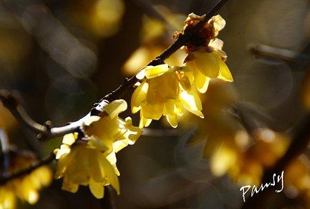 白山神社に咲く蝋梅・・2
