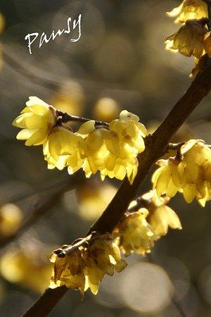 白山神社に咲く蝋梅・・3