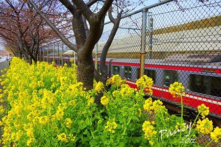 桜の樹と・・菜の花と・・京急と・・