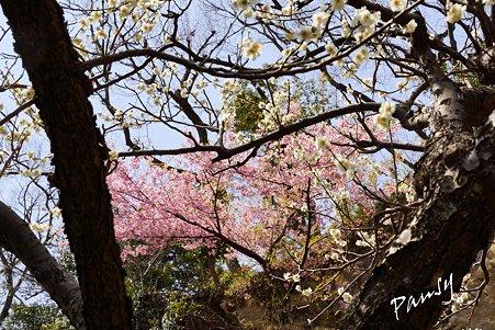 梅と桜と・・ 円覚寺・・16