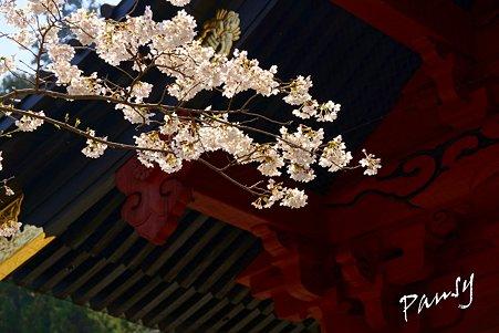 桜 kamakura 12